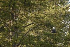 Bald Eagle    Grand Teton NP