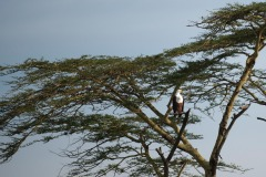 African Fish Eagle Acacia Perch || Serengeti National Park, Tanzania