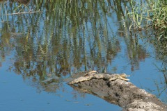 Baby Nile Crocodile    Serengeti National Park, Tanzania