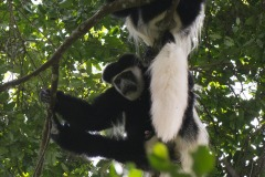 Black and White Colobus Monkeys || Arusha National Park, Tanzania
