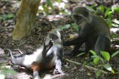 Blue Monkey Grooming || Jozani Chwaka Bay National Park, Zanzibar