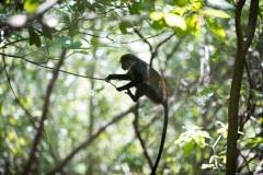 Blue Monkey Swing || Jozani Chwaka Bay National Park, Zanzibar