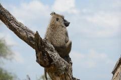 Chacma baboon || Serengeti National Park, Tanzania