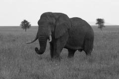 Elephant BW || Serengeti National Park, Tanzania