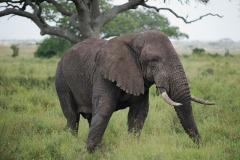 Elephant || Serengeti National Park, Tanzania