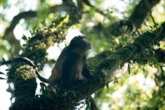 Golden Monkey || Mgahinga Gorilla National Park, Uganda