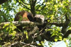 Golden Monkeys || Mgahinga Gorilla National Park, Uganda