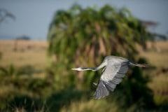 Grey Heron Flight 1 || Serengeti National Park, Tanzania