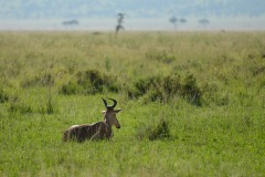 Hartebeest    Serengeti National Park, Tanzania