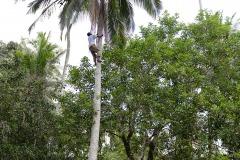 Harvesting Coconuts || Zanzibar
