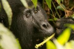 Kahungye Gorilla Family    Bwindi Impenetrable National Park, Uganda