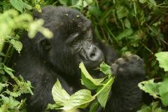 Kahungye Gorilla Family || Bwindi Impenetrable National Park, Uganda