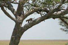 Leopard Cub || Serengeti National Park, Tanzania