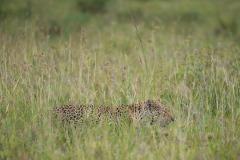 Leopard Hunt || Serengeti National Park, Tanzania