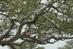 Leopard Lounging || Serengeti National Park, Tanzania