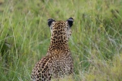 Leopard Watching || Serengeti National Park, Tanzania