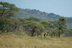 Lion Mother || Serengeti National Park, Tanzania
