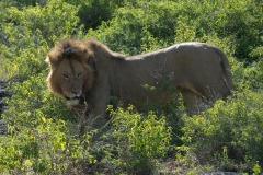 Male Lion || Ngorongoro Crater, Tanzania