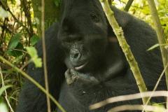 Nkuringo Gorilla || Bwindi Impenetrable National Park, Uganda
