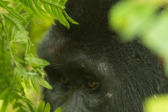 Nkuringo Silverback Gorilla || Bwindi Impenetrable National Park, Uganda