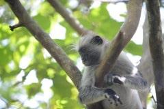 Red Colobus Monkey || Jozani Chwaka Bay National Park, Zanzibar