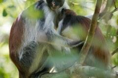 Red Colobus Monkey Mother and Child || Jozani Chwaka Bay National Park, Zanzibar