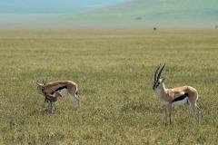 Thomson's Gazelle Family || Ngorongoro Crater, Tanzania