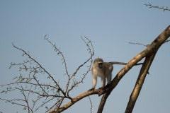Vervet monkey || Serengeti National Park, Tanzania
