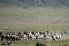 Zebra and Wildebeest || Ngorongoro Crater, Tanzania