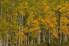 Aspen Grove in Fall || Crested Butte, CO