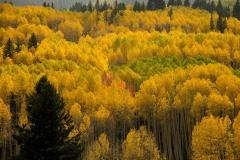 Aspens in Autumn Splendor || Crested Butte, CO