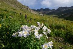 Sunlit Columbines in American Basin || Colorado