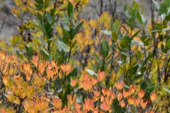 Western Azalea in Fall at Eight Dollar Mountain Botanical Area || Rogue River-Siskiyou National Forest, Oregon