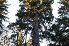 World's Largest Spruce || Rain Forest Resort Village in Quinault, Washington