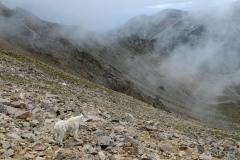 Mountain Goat in Talus    Mt. Harvard, CO