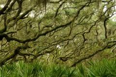 Palms and Live Oaks    Cumberland Island, GA