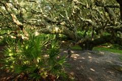 Palms and Live Oaks on Cumberland Island    GA