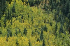 Young Aspens in Fall || Guenella Pass, CO