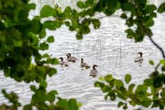 Ducklings || Finland