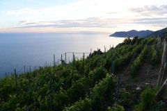 Manarola Vineyards || Cinque Terra