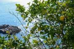 Vernazza Lemon Tree || Cinque Terre