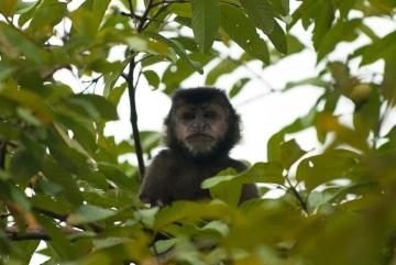 Black Capuchin Monkey || Iguazu Falls, Argentina