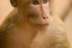 Macaque at Angkor || Siem Reap, Cambodia