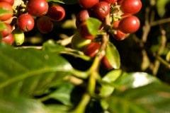 Coffee Cherries || Matagalpa, Nicaragua