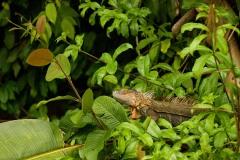 Iguana || Rio San Juan, Nicaragua