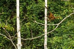 Spider Monkey with Child || Rio San Juan, Nicaragua