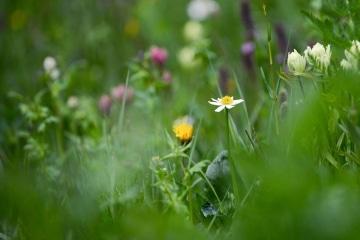 Alpine Wildflowers || Gunnison National Forest, CO