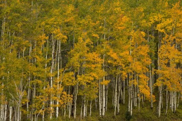 Aspen Grove in Fall    Crested Butte, CO