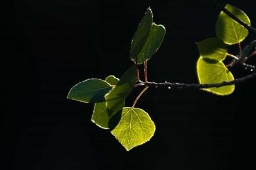 Aspen Leaves in Sunlight || Colorado