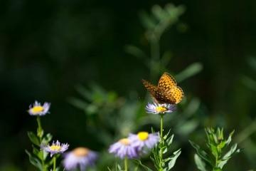 Butterfly on Purple Aster || Colorado